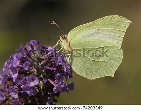 Gonepteryx rhamni butterfly on a purple flower that gives a great contrast