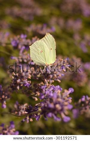 Gonepteryx rhamni resting on a flower - stock photo