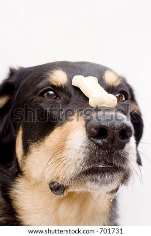 good dog balances cookie - stock photo