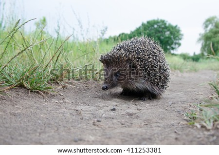 good hedgehog on the grass at nature - stock photo