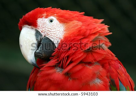 good looking face of a  macaw