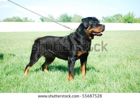 Good looking rottweiler standing in a grassy field