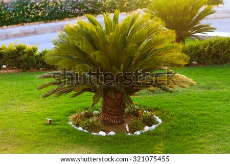 Good looking sago palm trees growing in the backyard - stock photo