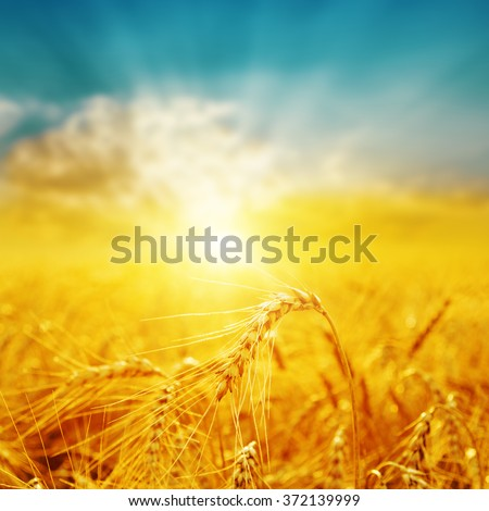 good sunset over golden field with harvest. soft focus - stock photo