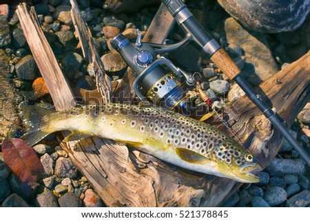 Good trophy. Caught by spinning brown trout (Salmo trutta fario) is in water on pebbles. Picturesque driftwood and spinning like still life. Lapland