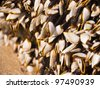 Goose barnacles on lumber - stock photo
