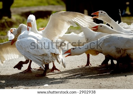 Goose fight for female - stock photo