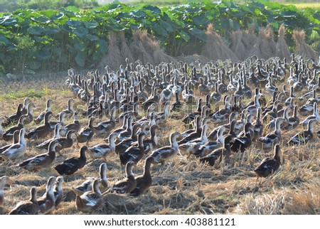 Goose grazing in the fields   - stock photo