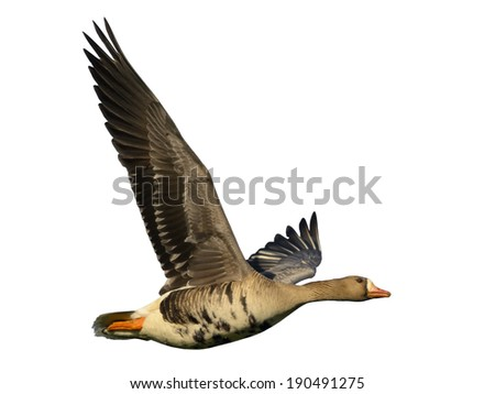 Goose in flight isolated on white. - stock photo