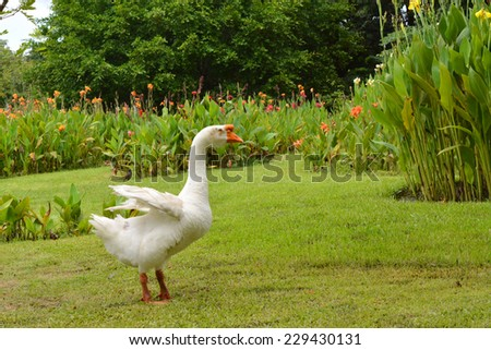 goose in garden - stock photo