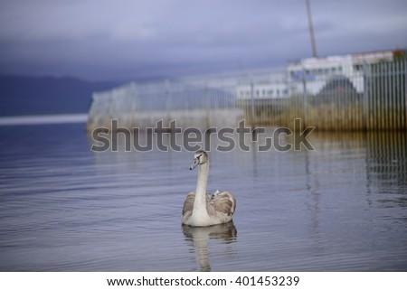 Goose in Loch Lomond Scotland. - stock photo