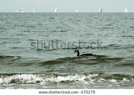 Goose in Ocean - stock photo
