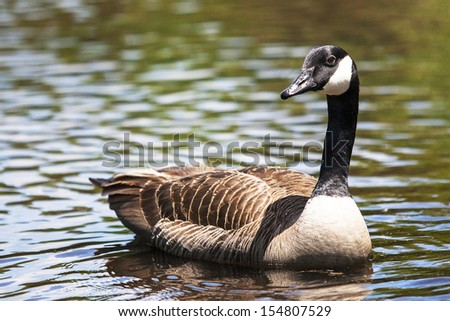 Goose in the Lake - stock photo