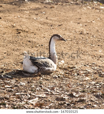Goose on the nature