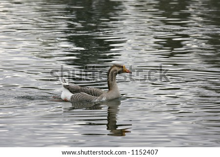 Goose swimming in the lake