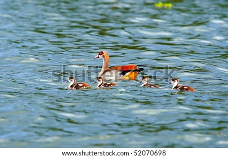 Goose with new borne family on the lake Naivasha. Africa. Kenya - stock photo