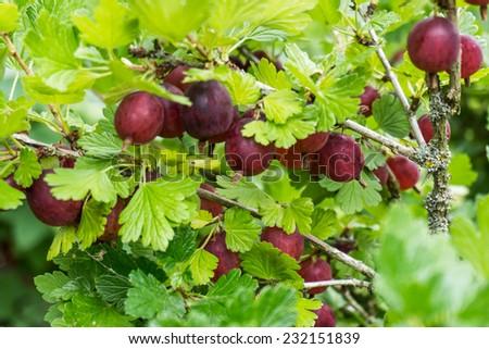 Gooseberries in the garden - stock photo