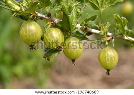 Gooseberries in the organic vegetable garden Groentenhof in Leidschendam, Netherlands. - stock photo