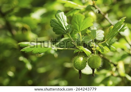 Gooseberries on a bush, growing in green forest - stock photo