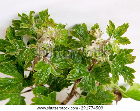 Gooseberries top leaves infected and damaged by fungus disease powdery mildew close up. - stock photo