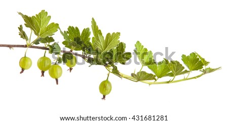 gooseberry bush branch with green leaves. isolated on white background