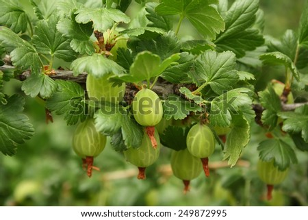 Gooseberry bush with berries and green leaves - stock photo