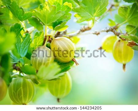 Gooseberry. Fresh and Ripe Organic Gooseberries Growing in the Garden - stock photo