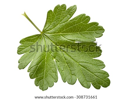 Gooseberry leaf closeup isolated on white background