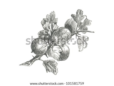 GOOSEBERRY. Picture of fruit / vegetables. (This is the original artwork - black marker pen with a hard tip.) - stock photo