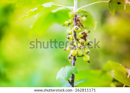 Gooseberry, with scientific names Ribes uva-crispa, is a species of Ribes (which also includes the currants). - stock photo
