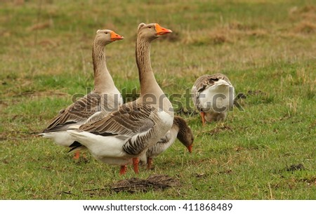 Gooses walking in a meadow, spring - stock photo