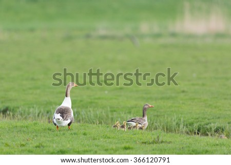 Gooses with gosling in the grass fields - stock photo