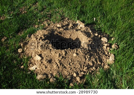 gopher/groundhog hole in lawn - stock photo