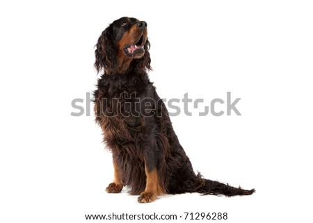 Gordon Setter dog sitting with the mouth open, on a white background