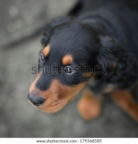 Gordon setter puppy dog looking up, with the eyes sharp and the rest of his body blurred because of low depth of field - stock photo