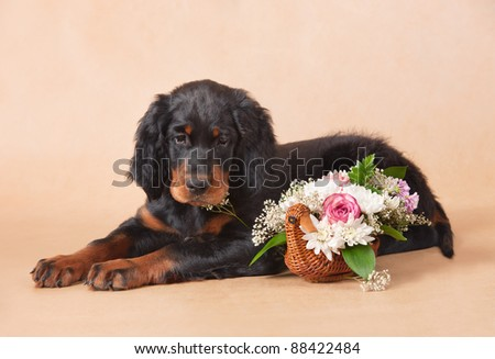 gordon setter's puppy with flowers, studio, horizontal - stock photo