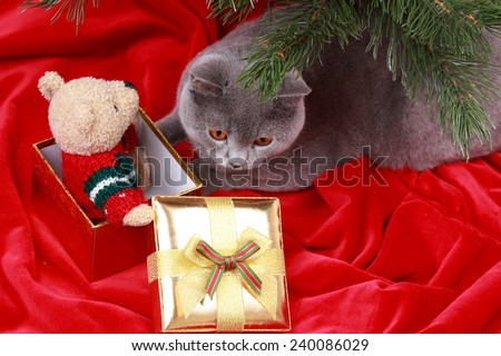 Gorgeous british cat on Christmas/Charming gray cat with presents on holiday theme - stock photo