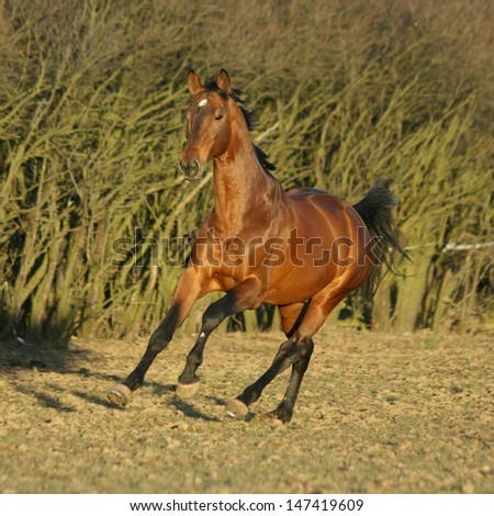 Gorgeous brown warmblood galloping in the evening