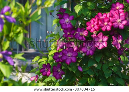 gorgeous bush clematis with large bright pink flowers - stock photo