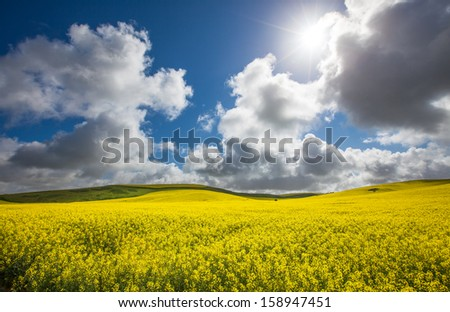 Gorgeous Canola Field lit up by the sun - stock photo