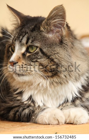 Gorgeous cat lying and looking on some food - stock photo