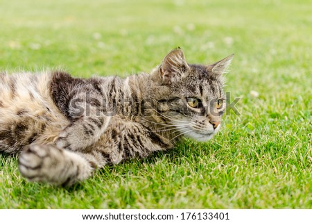 Gorgeous cat lying on the grass in the garden ( focus on eye) - stock photo