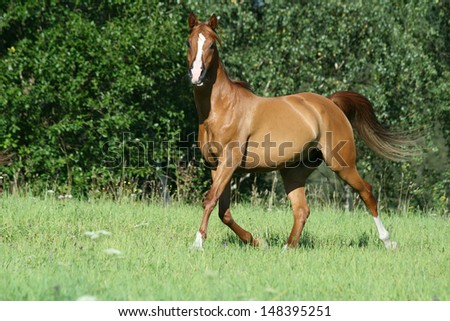 Gorgeous chestnut arabian horse running in freedom