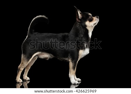 Gorgeous Chihuahua Dog Standing on Mirror and Looking up, Black Isolated Background - stock photo