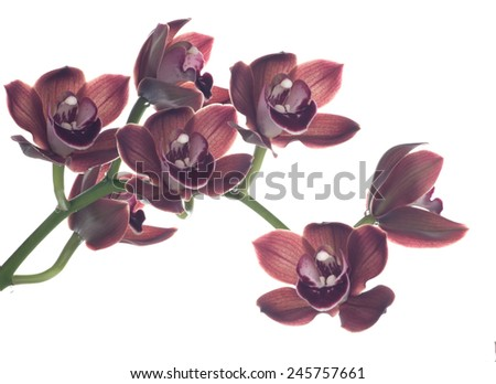 Gorgeous chocolate colored Cymbidium orchid flower over white background - stock photo