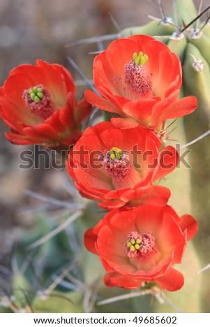 gorgeous claretcup hedgehog cactus flowers - stock photo