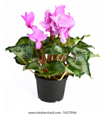 gorgeous cyclamen flower in pot against white background