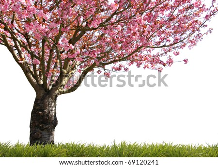 Gorgeous early spring blooming cherry trees in pink. - stock photo