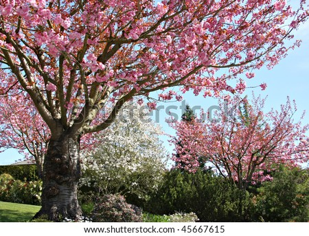 Gorgeous early spring blooming cherry trees in pink and white. - stock photo