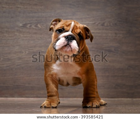 Gorgeous English Bulldog puppy. Rack. Puppy 3 months. Background wooden board - stock photo